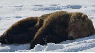 在冰上睡覺的熊