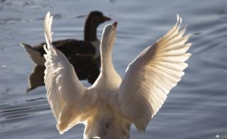 Two geese are seen on a lake, one swims while the other flaps out its wings.