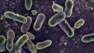 Salmonella Enteritidis bacterium