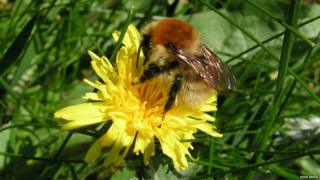 Large carder bumblebee