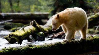 Kermode bear in the Great Bear Rainforest