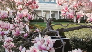 این درخت برای تقریبا دو سده زینت بخش محوطه کاخ سفید بوده است