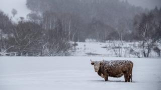 Корова в поле в снегу