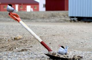 Two birds sitting on a spade