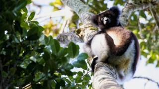 Lemur (c) Victoria Gill
