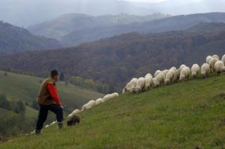 Shepherd with sheep, Transylvania, Southern Carpathian Mountains, Romania, October 2008