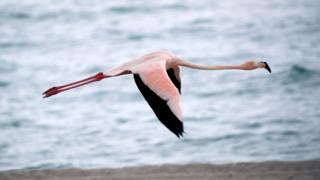 A flamingo in flight over a Miami beach, May 2018.
