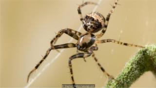 Laba-laba pembajak (Ero sp.) pada jaring laba-laba lain.