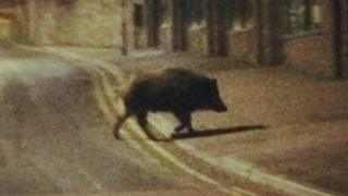 Boar captured on camera in Cinderford town centre at night