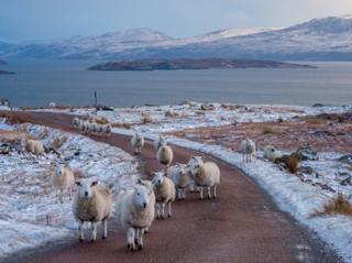 Sheep in the road on the Coigach peninsula