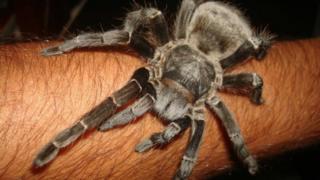 Aranha Acanthoscurria gomesiana