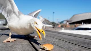 Gull eating bread