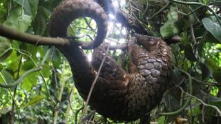 A pangolin hanging from a tree