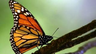 Picture of a monarch butterfly