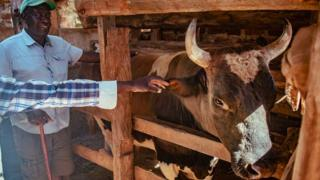 Gerald Ashiono, chairman of the local Bull Owners Welfare group, looks on at his prize bull Imbongo in western Kenya