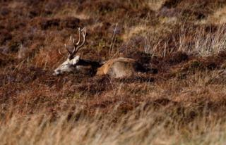 A sleeping stag on the Isle of Lewis