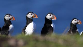 Puffins have begun to return to the Farne Islands for the breeding season