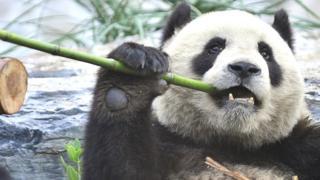 sports Giant panda