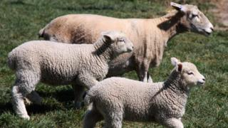 Climate change: Report says 'cut lamb and beef'