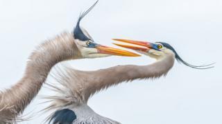 Garça-azul-grande