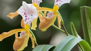 Slipper orchid from Laos