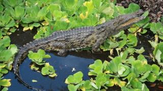 In this 2012 photo provided by Joe Wasilewski, shows a Nile crocodile that he found in Homestead, Fla. University of Florida researchers recently published a paper showing that captured reptiles in 2009, 2001 and 2014 are Nile crocs.