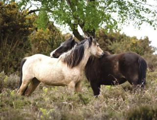 Two New Forest ponies