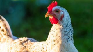 Miliaran ekor ayam disembelih tiap tahun untuk dikonsumsi, apakah ini bisa berkelanjutan?