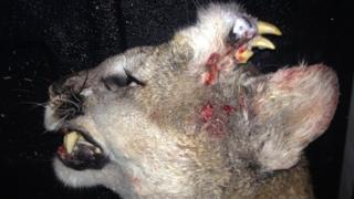 Deformed mountain lion with teeth growing out of its head, shot in Idaho (30 December)