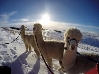 Three alpacas in the Cheviot Hills.