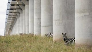 Zebras graze under a bridge