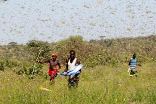 Samburu men attempt to repel locusts