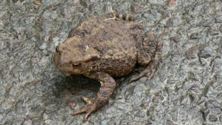 Toad on a wet road