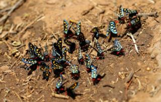 More than a dozen multicoloured insects gather in a group on parched ground