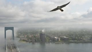 Peregrine falcon flying in New York
