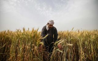 online dating یک مرد مصری گندم را در روستای ساکیات المنقادی در شمال دلتای استان منوفیا در مصر در 1 ماه مه سال 2019 برداشت می کند