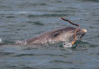 Bottlenose dolphin Kenobi playing with seaweed