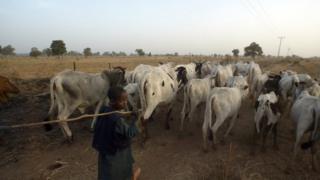 Boy dey control cows
