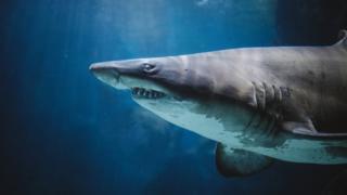 Tubarão no oceano