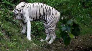 File photo of White tiger in Kolkata zoo
