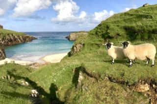 Outer Hebrides sheep