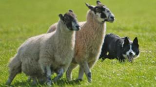 A dog with two sheep