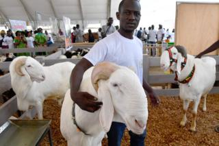 An exhibitor poses with Malian rams at the opening of the fourth International Exhibition of Agriculture and Animal Resources (SARA 2017) in Abidjan on November 17, 2017.