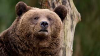 A European brown bear