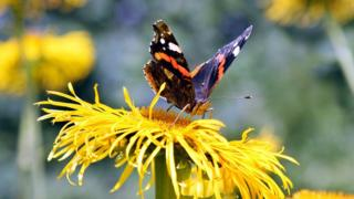 science A red admiral butterfly.