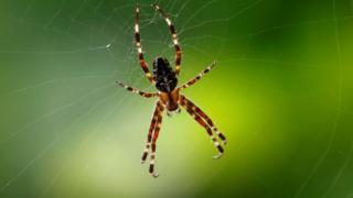 Örümcek ağda sallanıyor