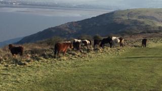 Dartmoor ponies, Brean Down