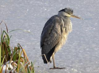 Heron on icy pond.