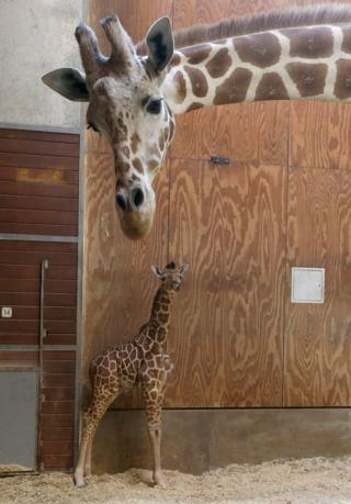 A female giraffe calf at San Francisco Zoo
