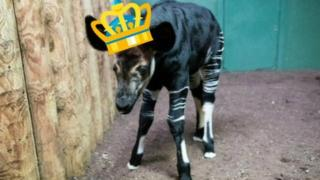 Baby okapi wearing a crown